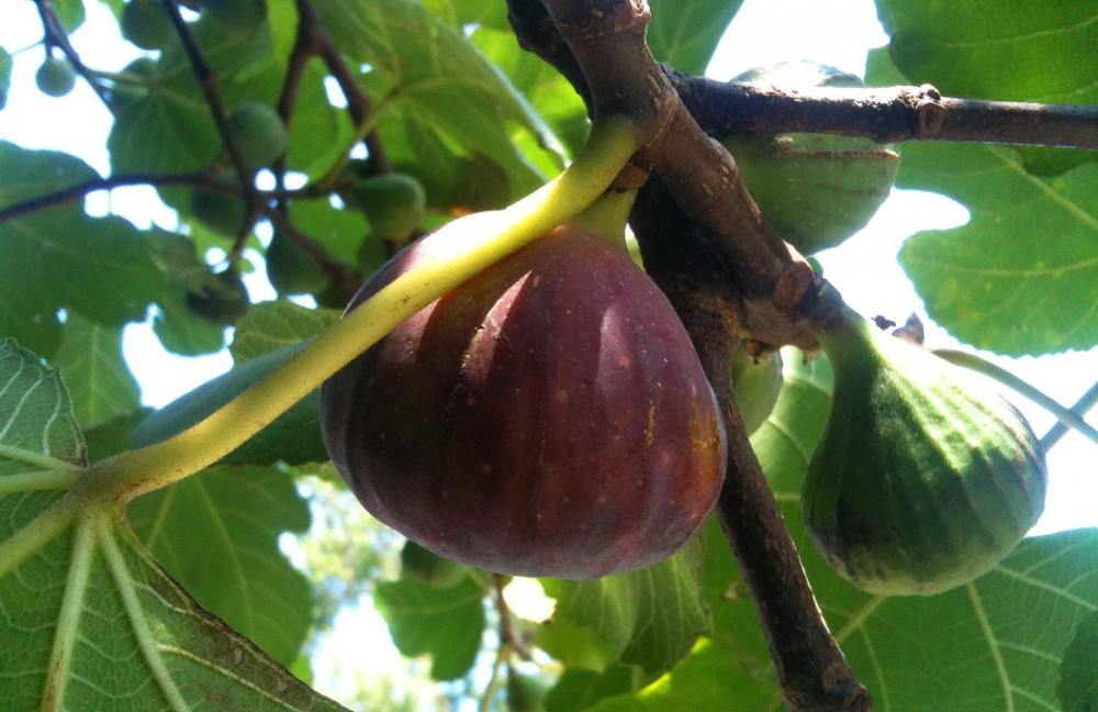 figs on a tree1